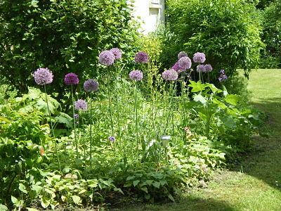 Ail d'ornement - jardin du gîte la Fontaine St Gervais - Aumont en Halatte - Oise