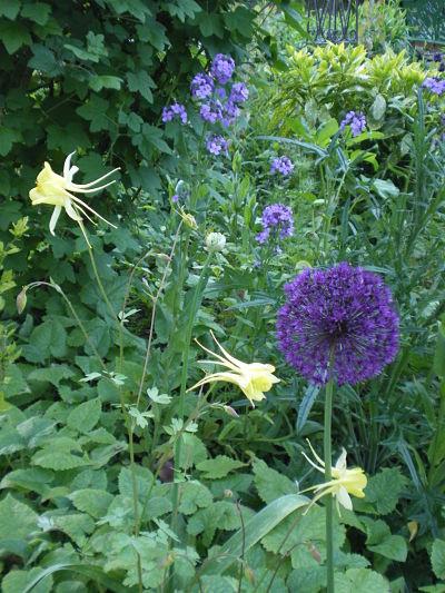 Ail et ancolie - jardin du gîte la Fontaine St Gervais - Aumont en Halatte - Oise
