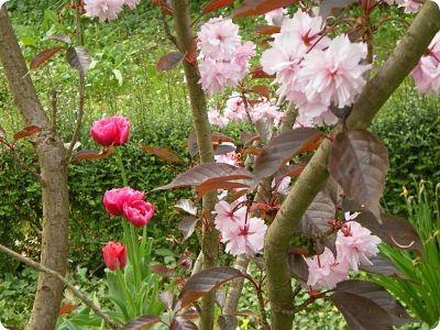 Prunus en fleurs et tulipes - jardin du gîte la Fontaine St Gervais - Aumont - Oise