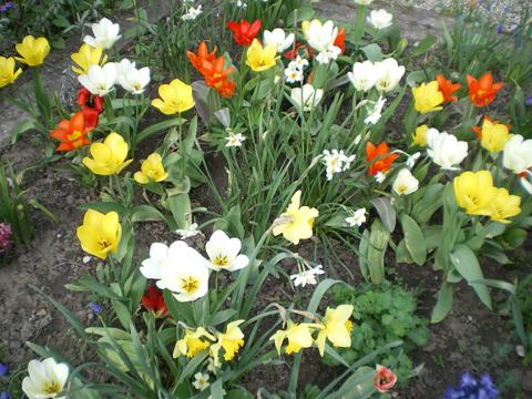 Tulipes - jardin du gîte la Fontaine St Gervais - Aumont - Oise