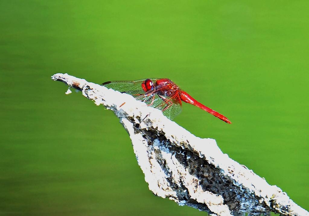 Feuerlibelle ♂ (Crocothemis erythraea) Foto © P. Britz