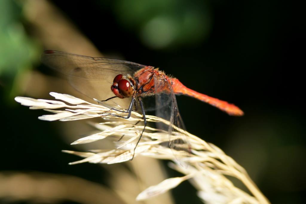 Blutrote Heidelibelle (Sympetrum sanguineum)  Foto  © M. Bopp