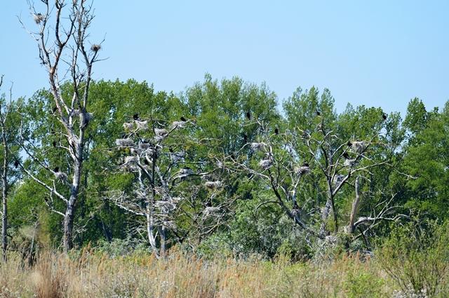 079 Eine Kormorankolonie (Phalacrocorax carbo)