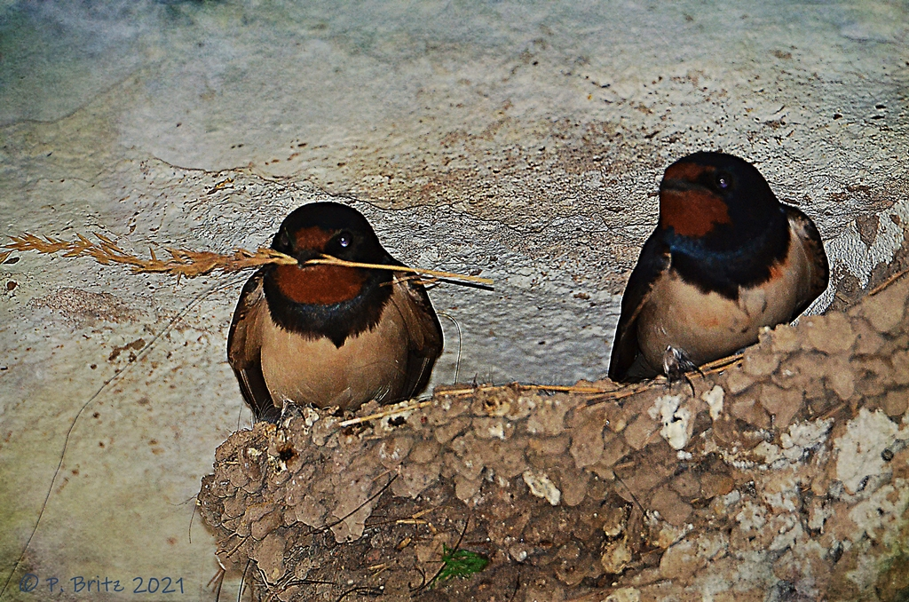 Rauchschwalbe (Hirundo rustica) Pärchen im Nest Ludwigshöhe  Foto: P. Britz