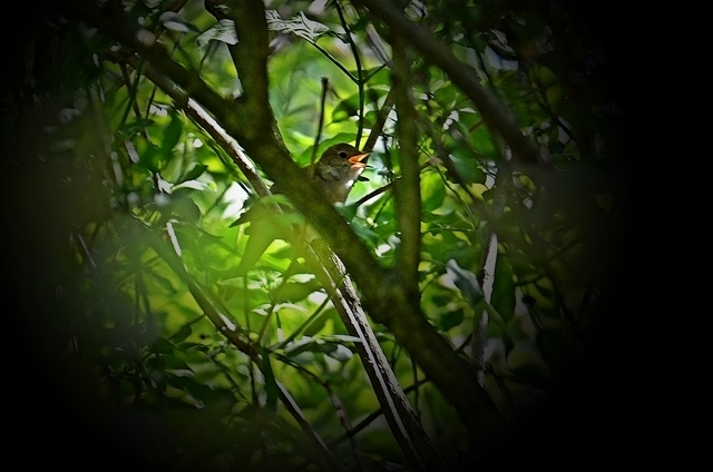 043 Die Nachtigall (Luscinia megarhynchos)