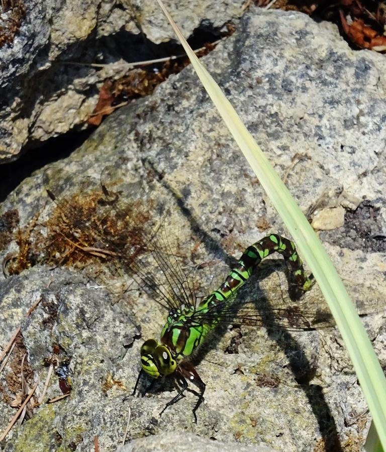 Blau-Grüne Mosaikjungfer (Aeshna cyanea) Foto © A. Bingenheimer
