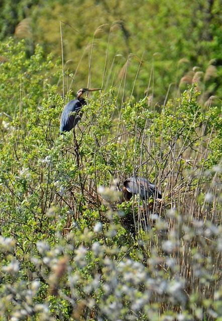 088  Der Purpurreiher (Ardea purpurea)