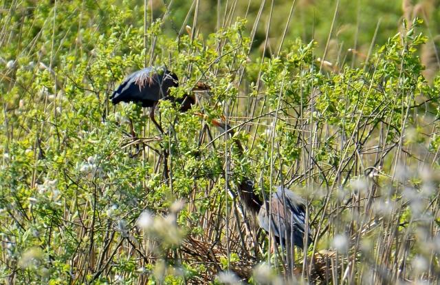 087  Der Purpurreiher (Ardea purpurea)