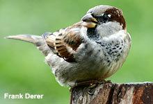 Dauergewinner bei der Stunde der Gartenvogel und doch auf der Vorwarnstufe der Roten Liste: Der Haussperling.