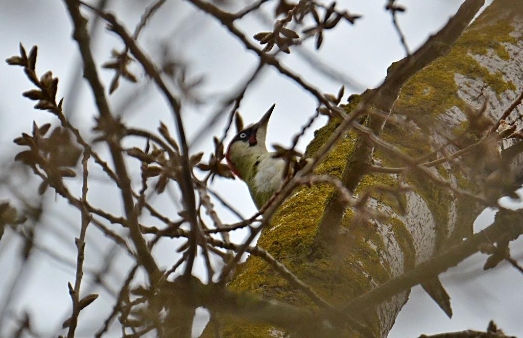 Grünspecht (Picus viridis) ♀