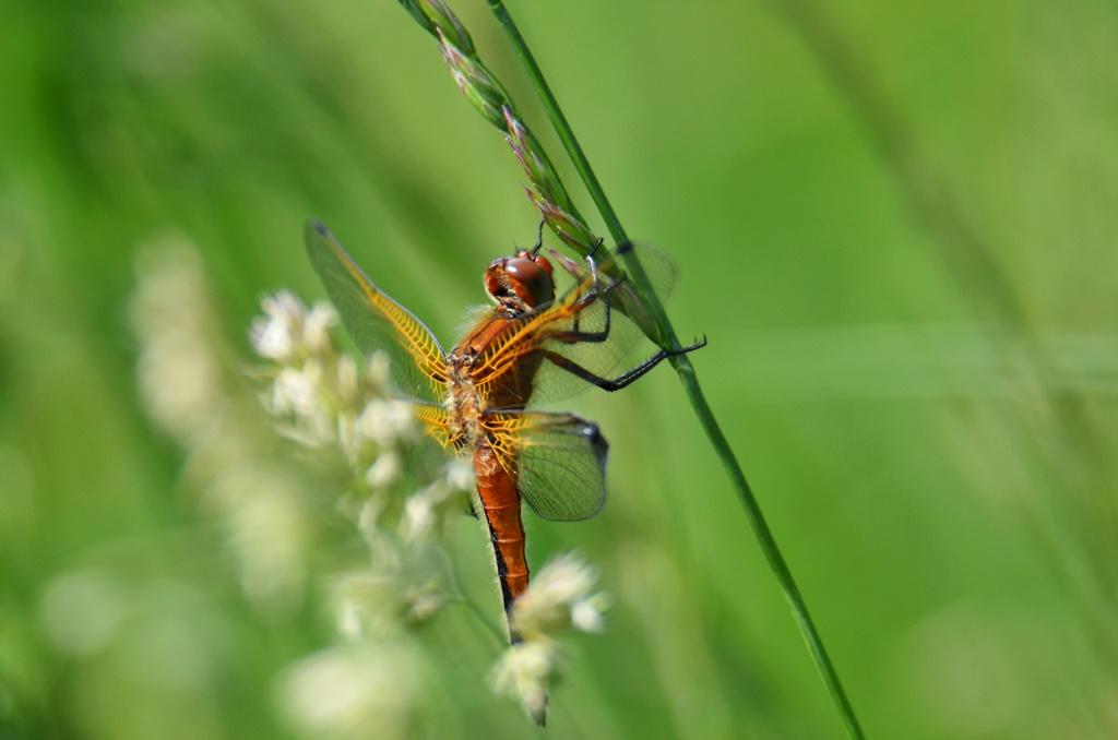 Gefleckte Heidelibelle ♂(Sympetrum flaveolum) Foto © P. Britz