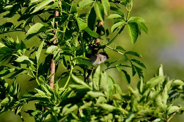 005 Die Mönchsgrasmücke ♂ (Sylvia atricapilla)