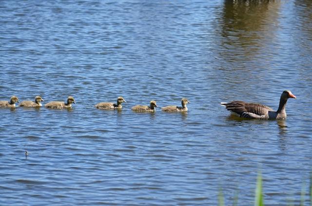 100 Graugansfamilie(Anser anser) schwimmt im Gänsemarsch