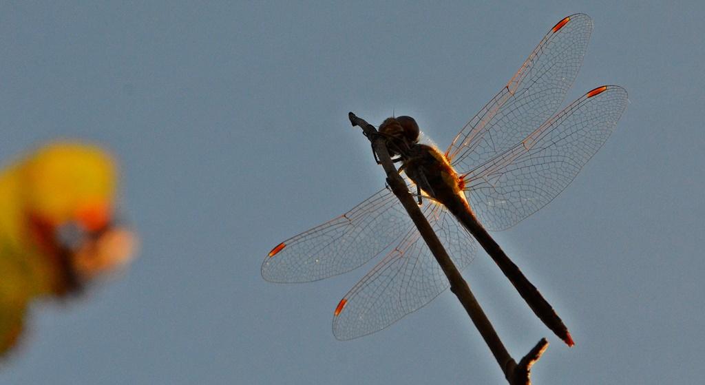 Gemeine Heidelibelle ♂ (Sympetrum vulgatum) Foto © P. Britz