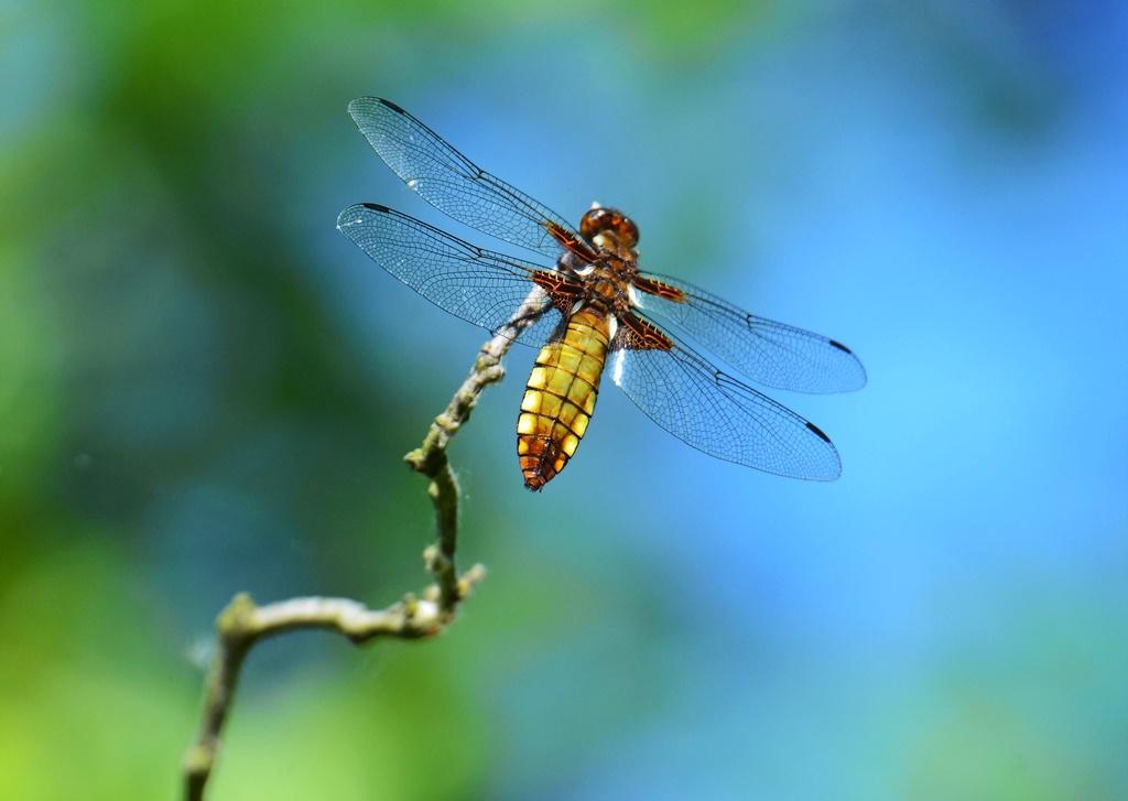 Plattbauch ♀ (Libellula depressa) Foto © P. Britz