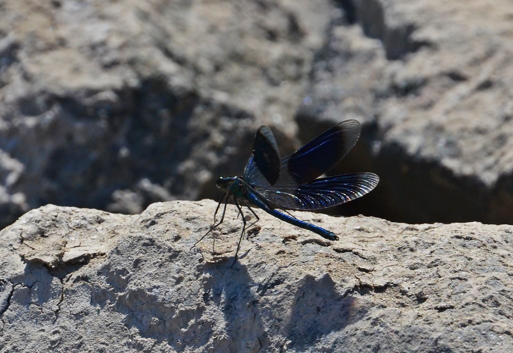 Gebänderte Prachtlibelle ♂(Calopteryx splendens) Foto © P. Britz