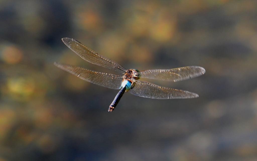 Große Königslibelle ♂ (Anax imperator) im Flug Foto © P. Britz