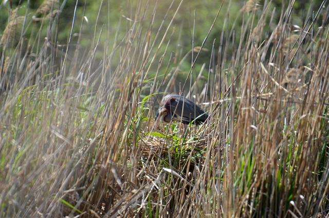 109 Der Purpurreiher (Ardea purpurea) bei der Brutpflege