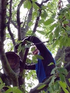 Uwe Z. - dem kein Baum zu hoch ist - beim Anbringen einer neuen Niströhre.