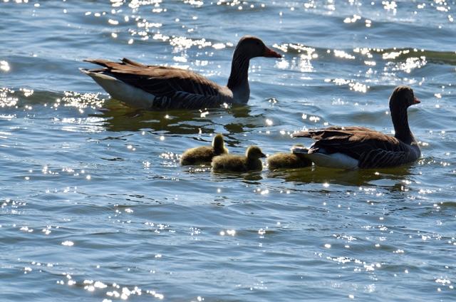 019 Familie Graugans (Anser anser) zu  Wasser