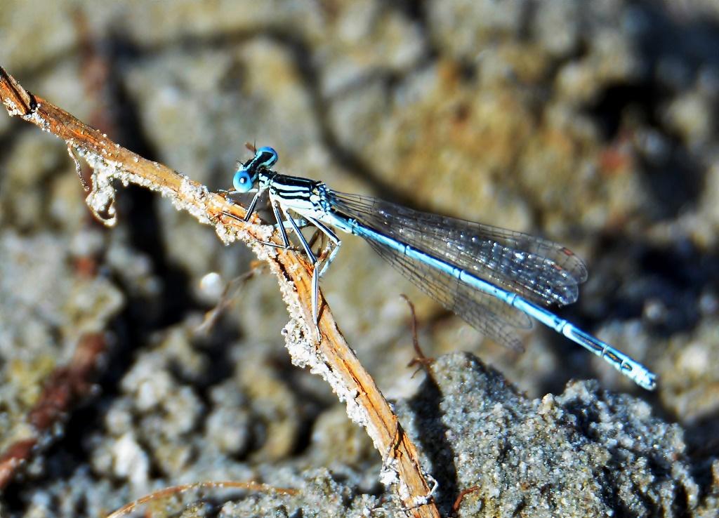 Blaue Federlibelle ♂ (Platycnemis pennipes) Foto © P. Britz