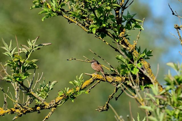 003 Die Heckenbraunelle ♂ (Prunella Modularis) oder JK Schwarzkehlchen (Saxicola rubicola)
