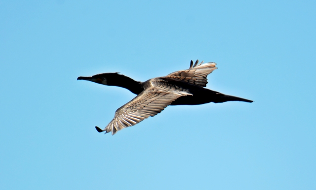 082 Der Kormoran (Phalacrocorax carbo) im Flug