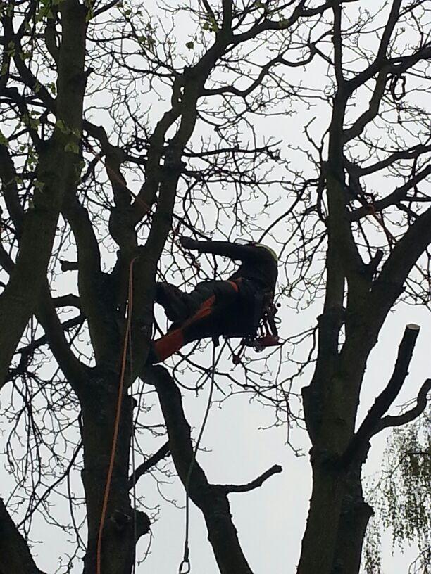 Totholzentnahme mit der baumschonenden Seilklettertechnik (SKT)