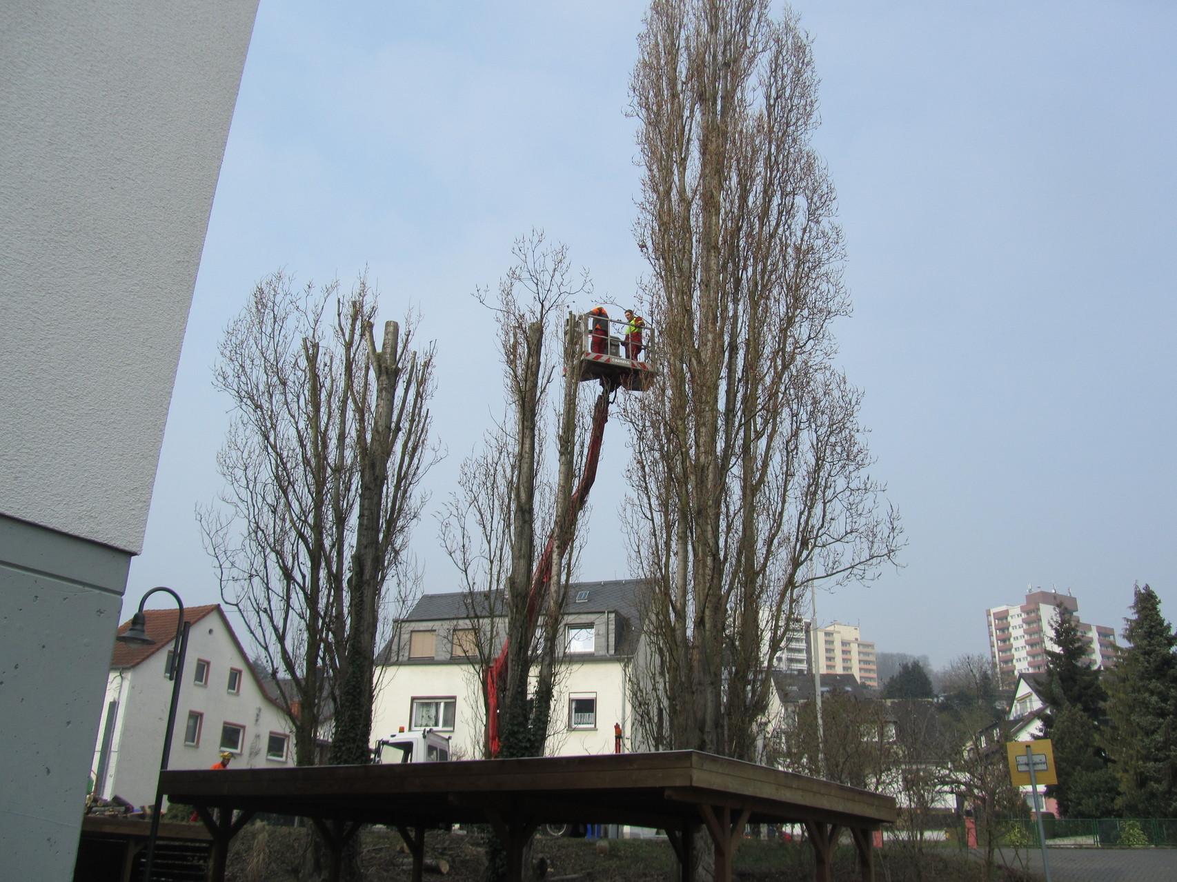 Kappen von Säulenpappeln mittels Hubsteiger