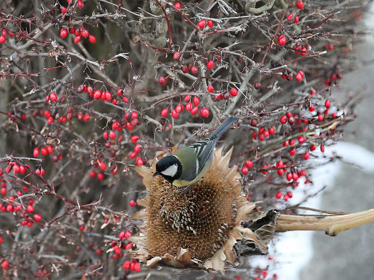 Vogelfutter in der Natur: Die Berberitze (Sauerdorn)