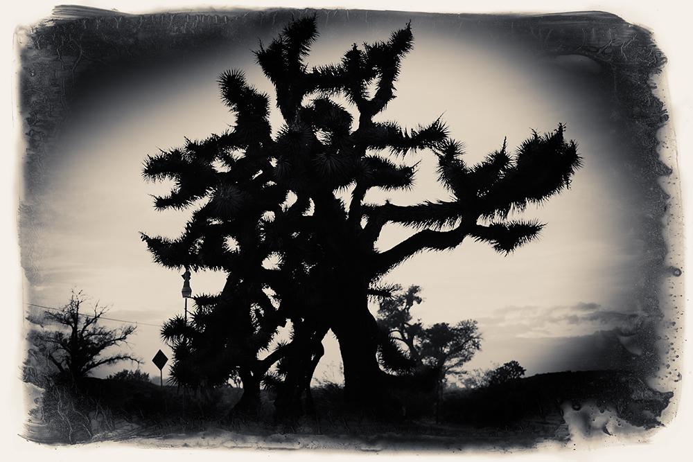 FOR ACE JOSHUA TREE SHADOW