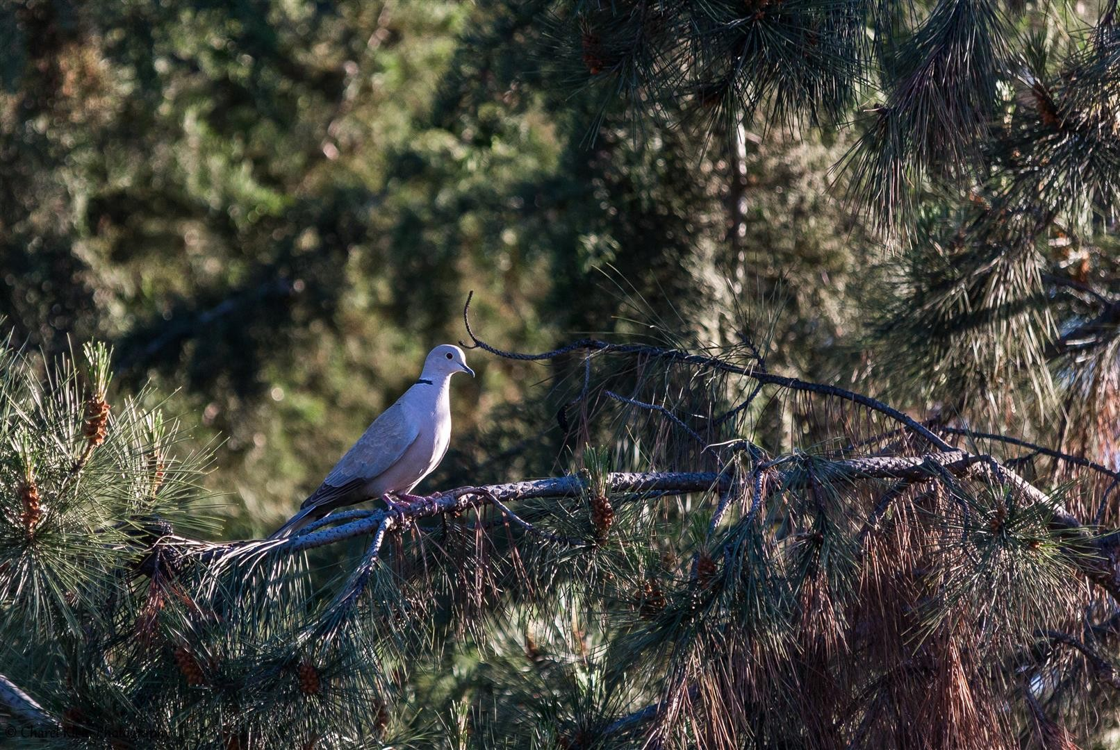 Eurasian Collared Dove (Streptopelia decaocto) -- Birdingtrip Turkey 2015