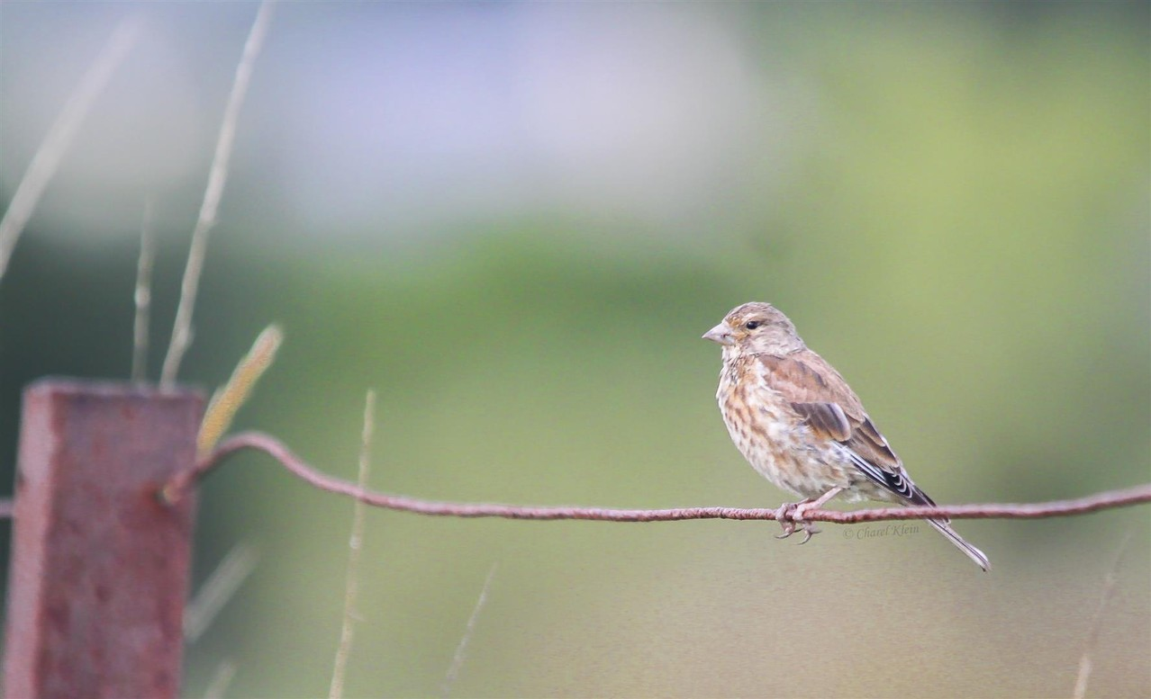 Common Linnet   (Carduelis cannabina) -- Luxembourg