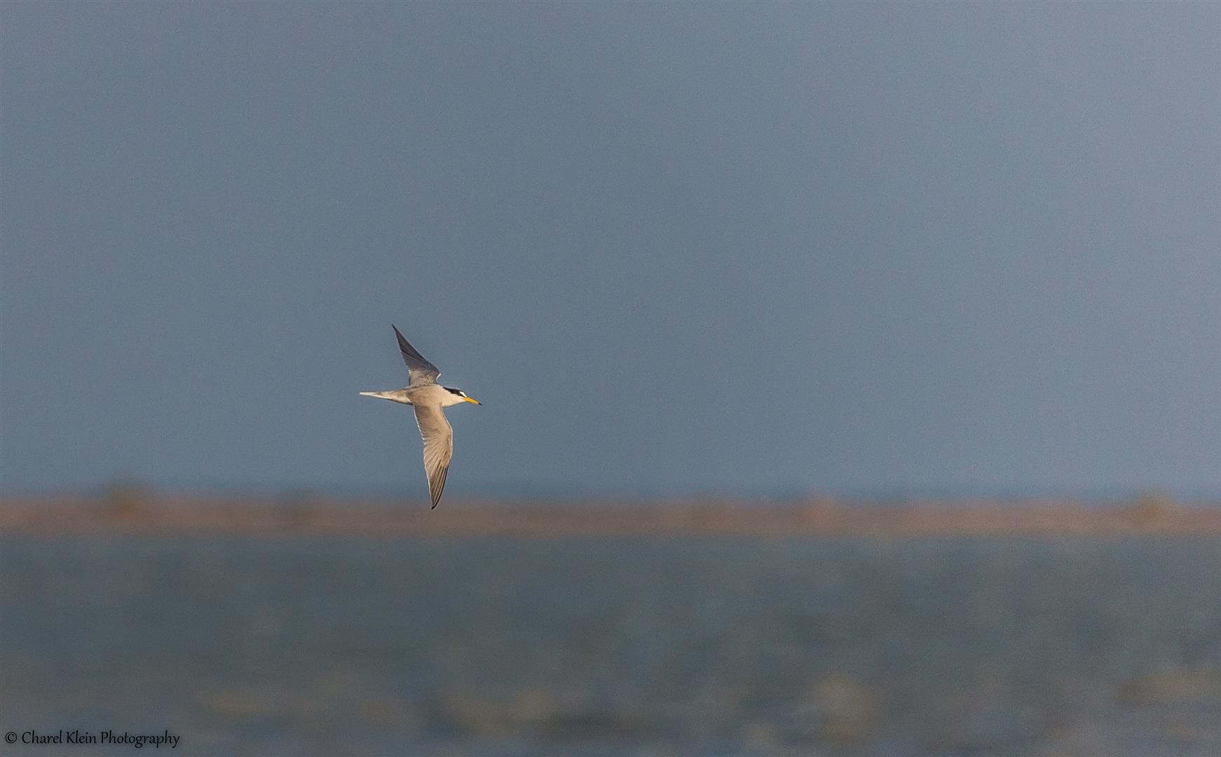 Little Tern (Sternula albifrons) -- Birdingtrip Turkey -- May 2015