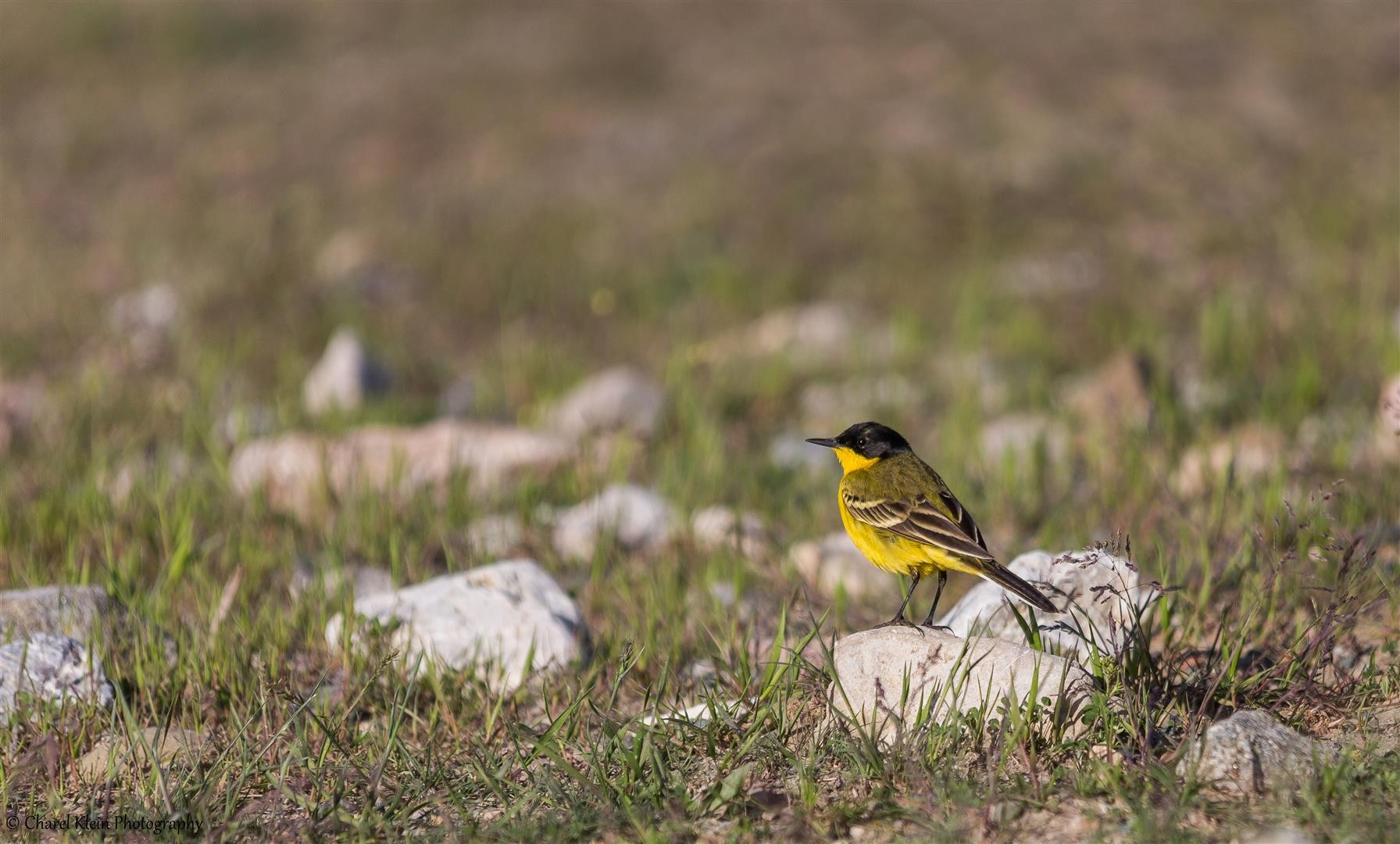 Black-headed Wagtail (Motacilla flava feldegg) -- Birdingtrip Turkey 2015