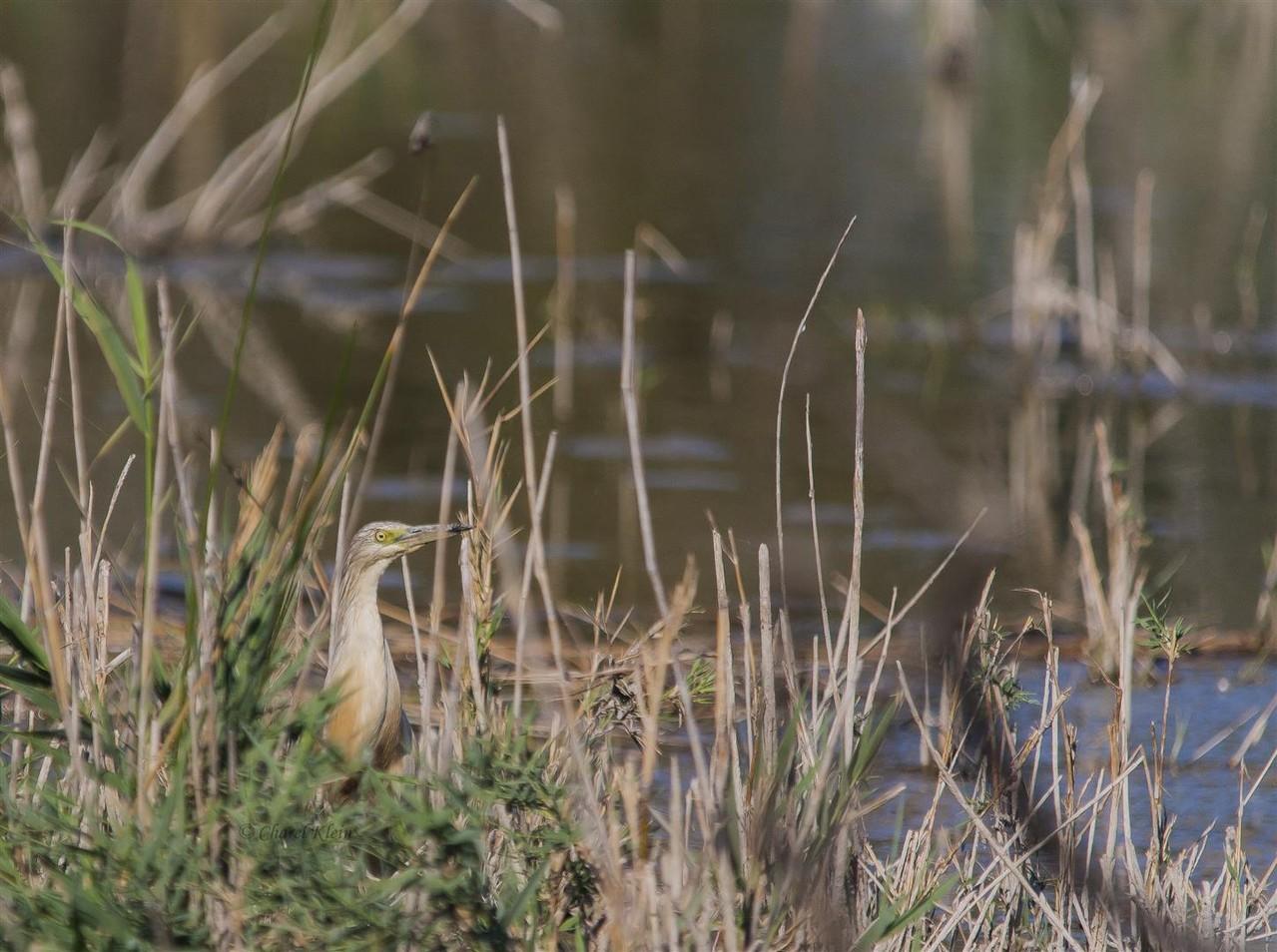 Squacco Heron (Ardeola ralloides) -- France / Camargue