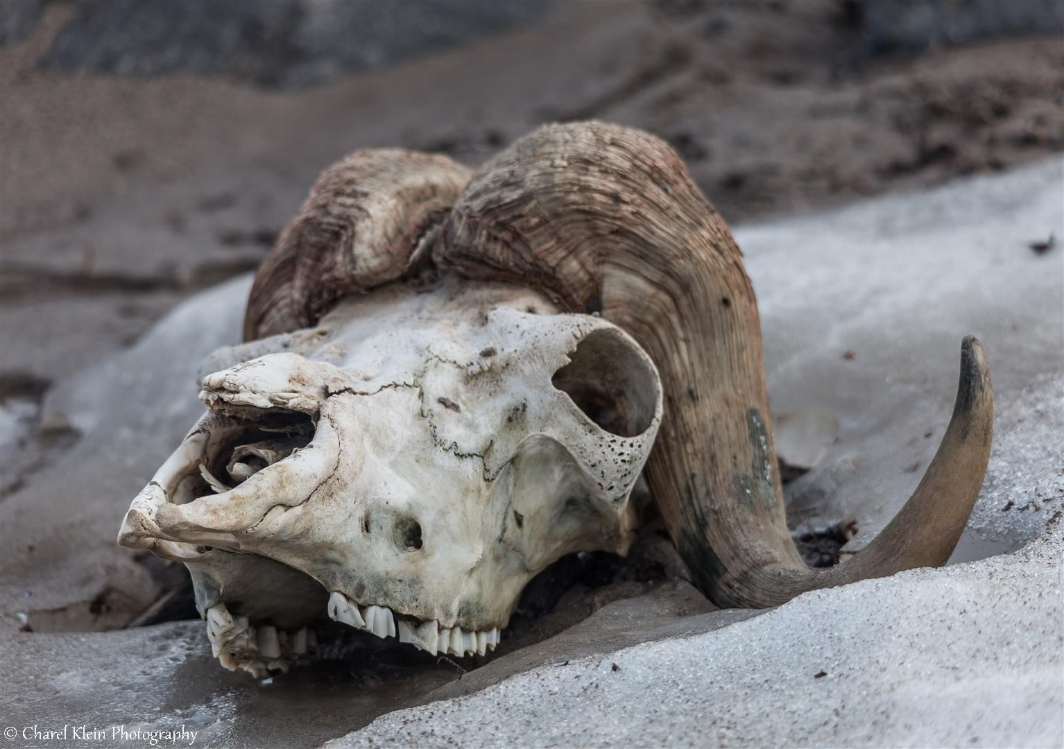 First exploring tundra - old musk ox skull