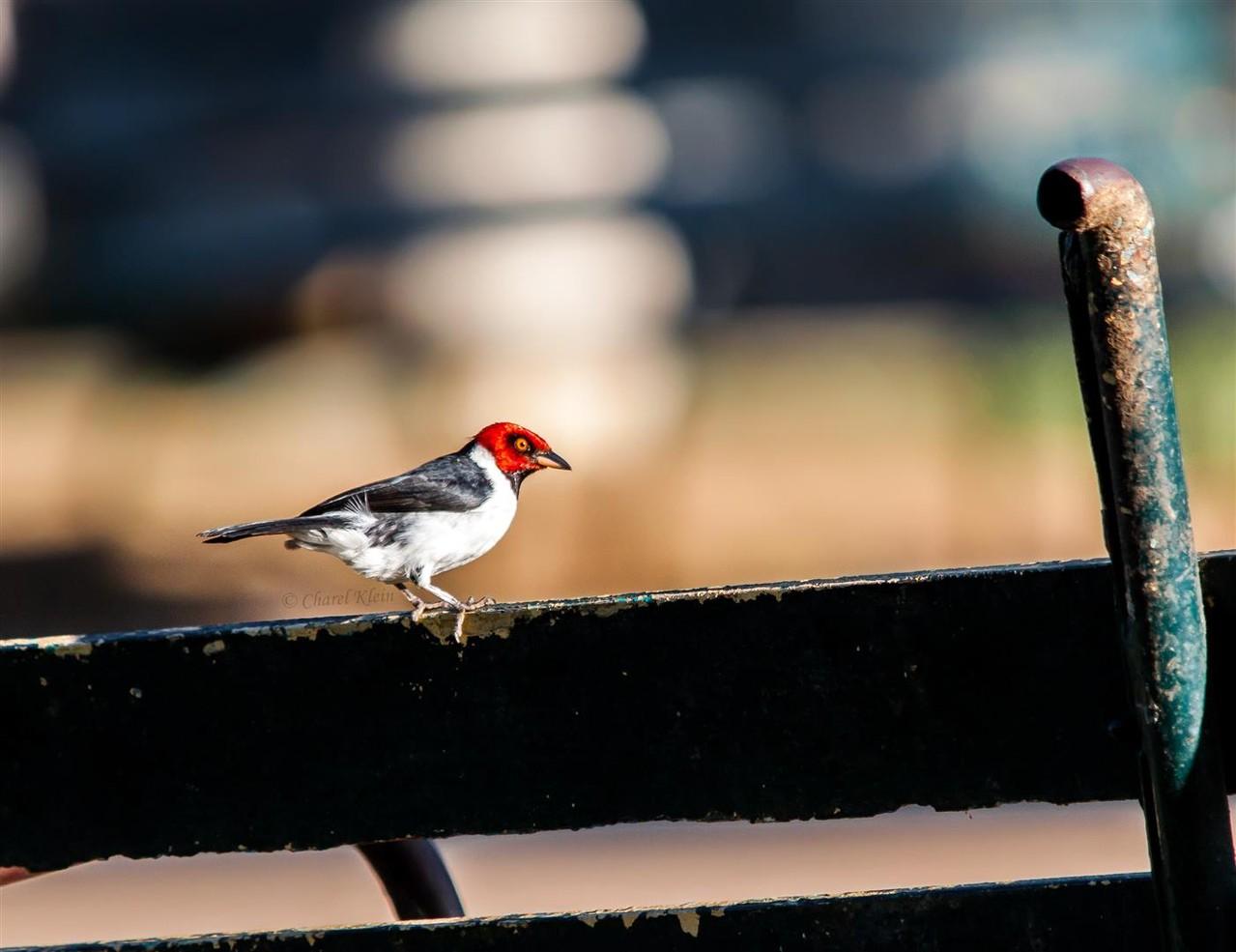 Red-capped Cardinal      (Paroaria gularis) -- Peru / Centro De Rescate Taricaya