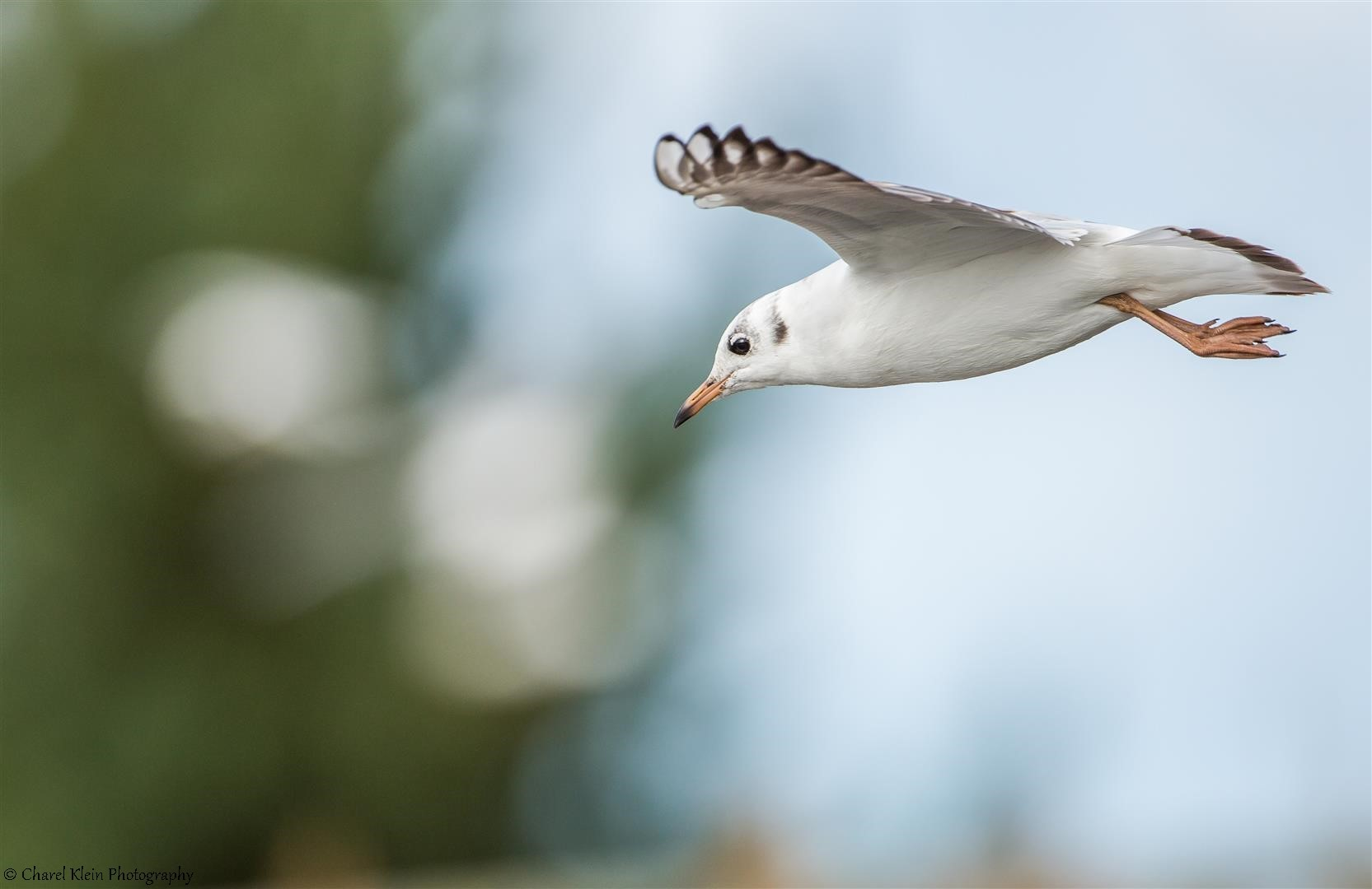 Black-headed Gull   (Chroicocephalus ridibundus)   --   Darss / Germany   --   September 2014