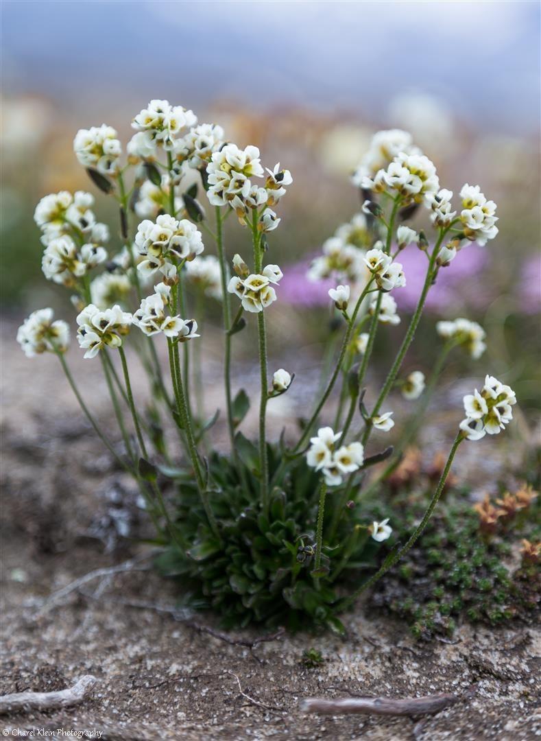 Arctic flowers