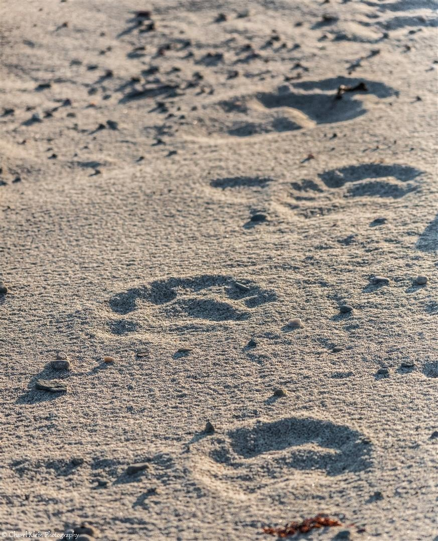 Polar bear footprints next to the camp