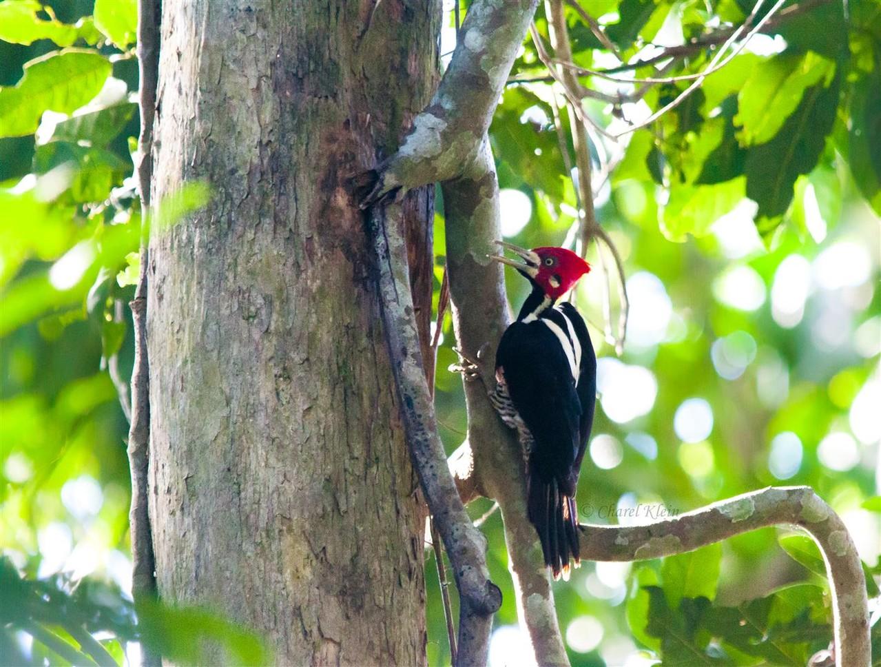 Crimson-crested Woodpecker (Campephilus melanoleucos) -- Peru / Centro De Rescate Taricaya