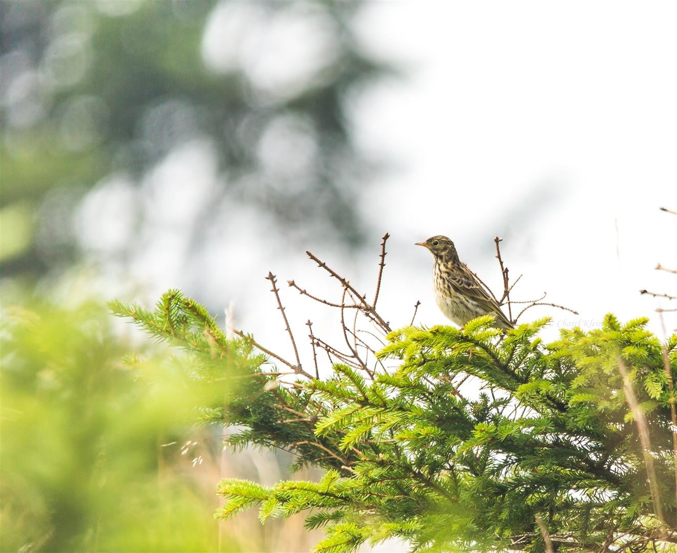 Meadow pipit  (Anthus pratensis)  -- Belchen  / Germany