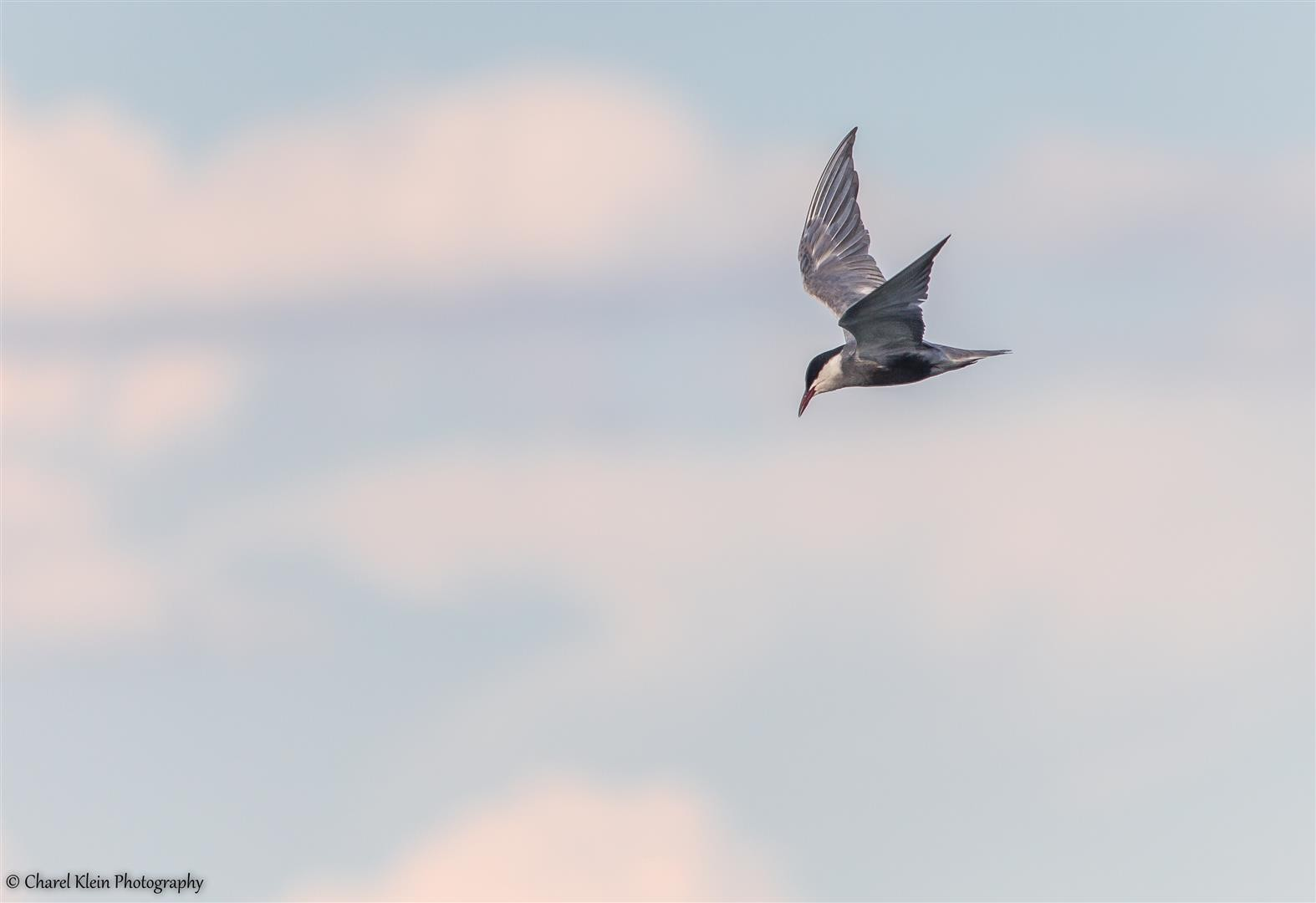 Whiskered Tern (Chlidonias hybridus) -- Birdingtrip Turkey -- May 2015