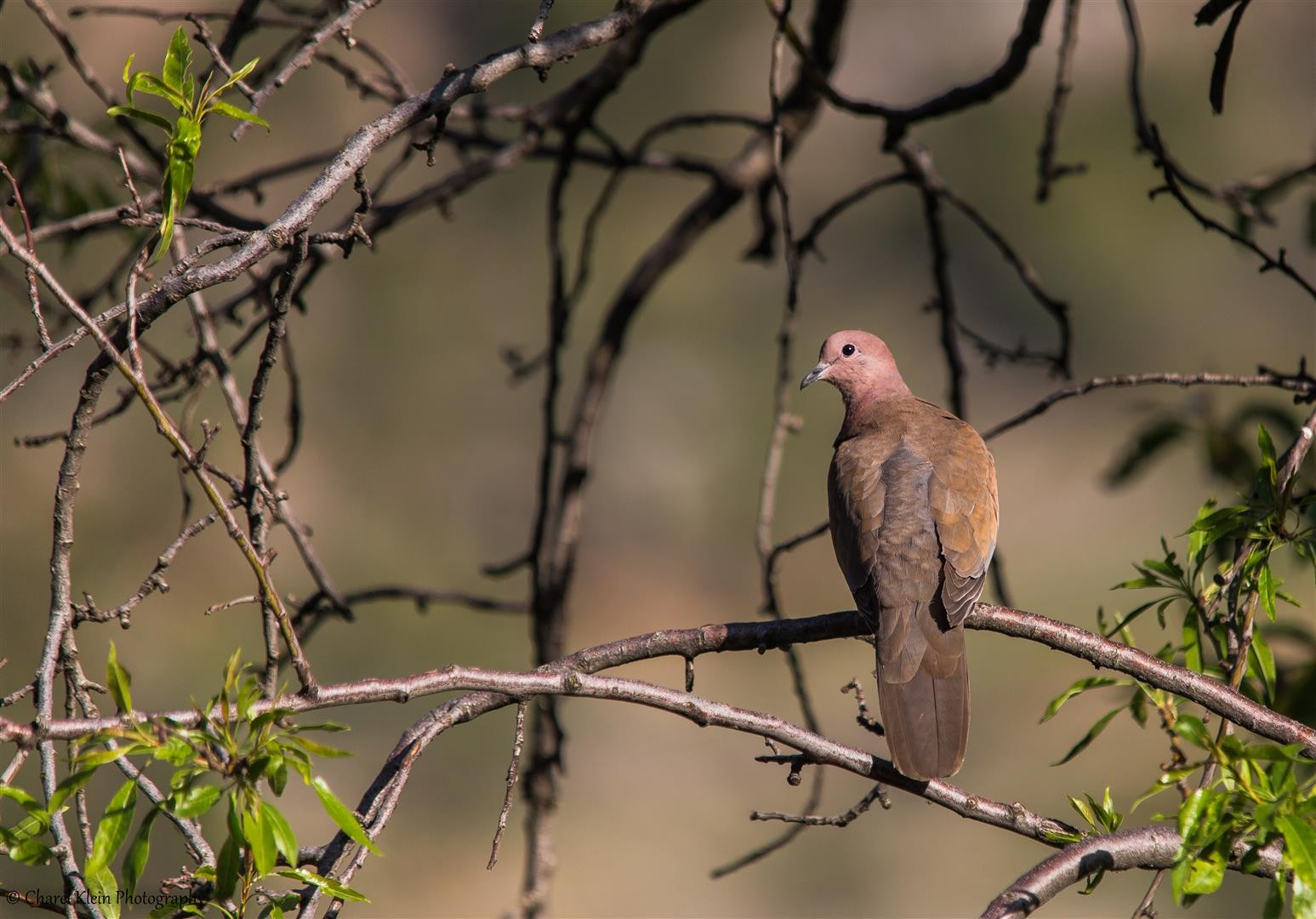 Laughing Dove (Streptopelia senegalensis) -- Birdingtrip Turkey 2015