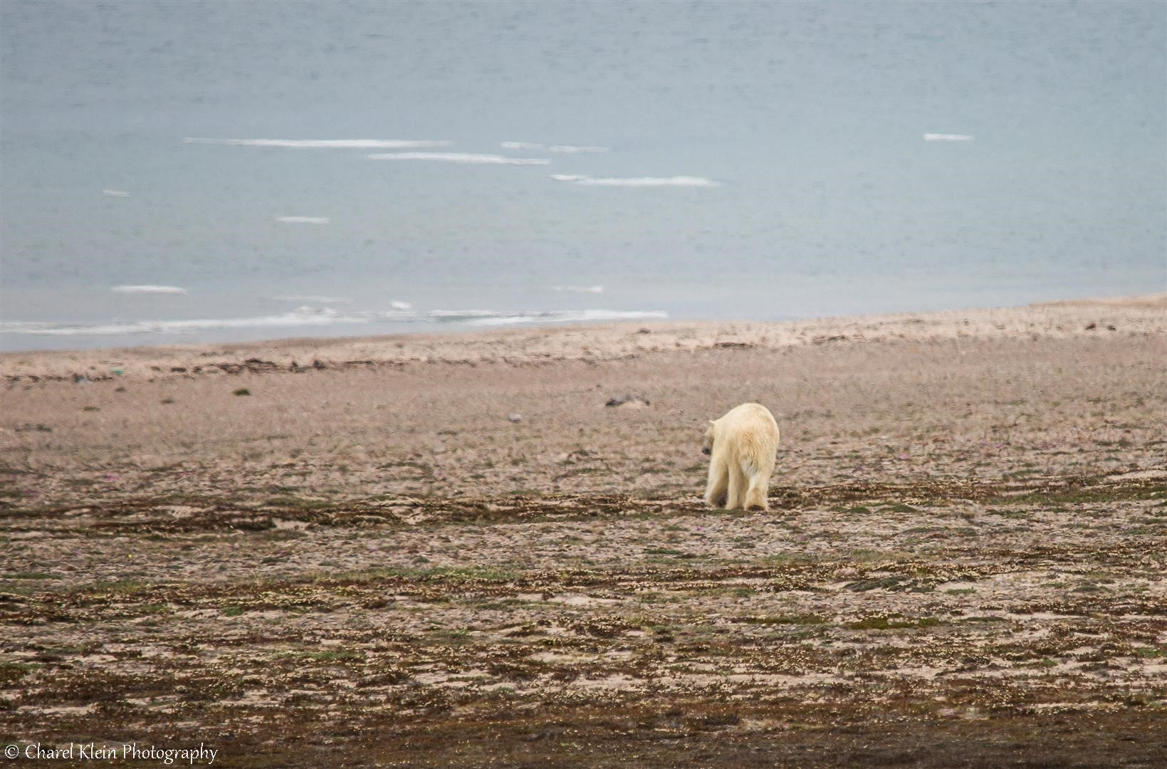 Next to our camp.. Polar bear