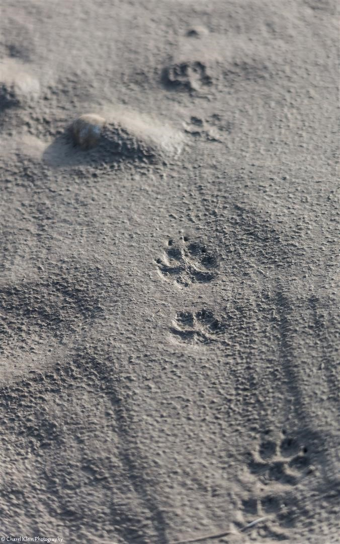 Arctic fox footprints
