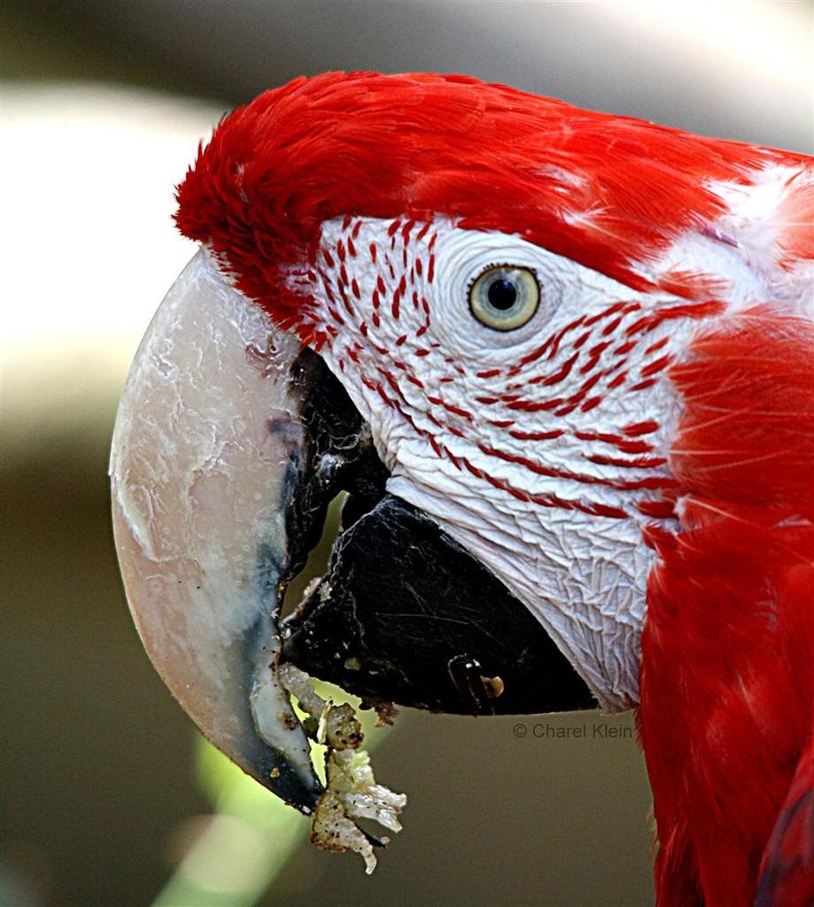 Green-winged Macaw (Ara chloropterus)-- Amniville/zoo