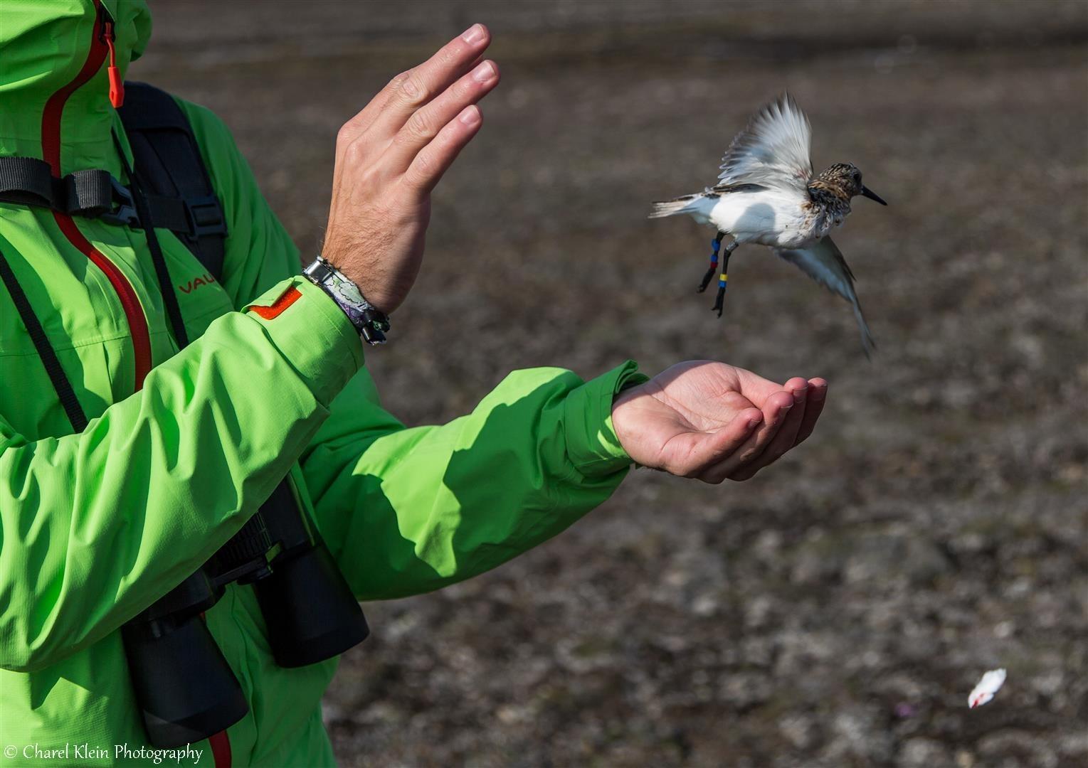 Release Sanderling