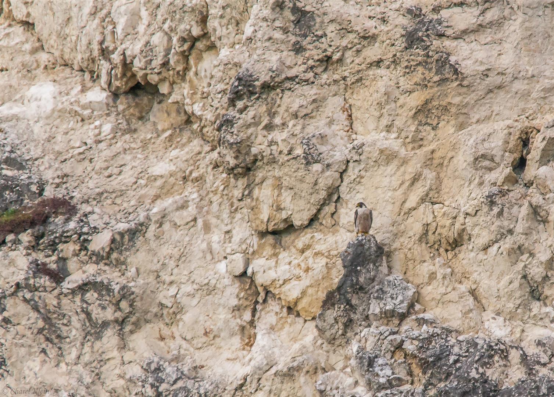 Peregrine Falcon  (Falco peregrinus) -- Freiburg / Germany